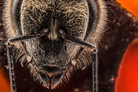 Les 21 premiers jours d'une vie d'abeille