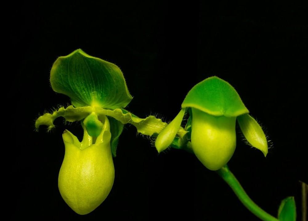 Des orchidées en timelapse