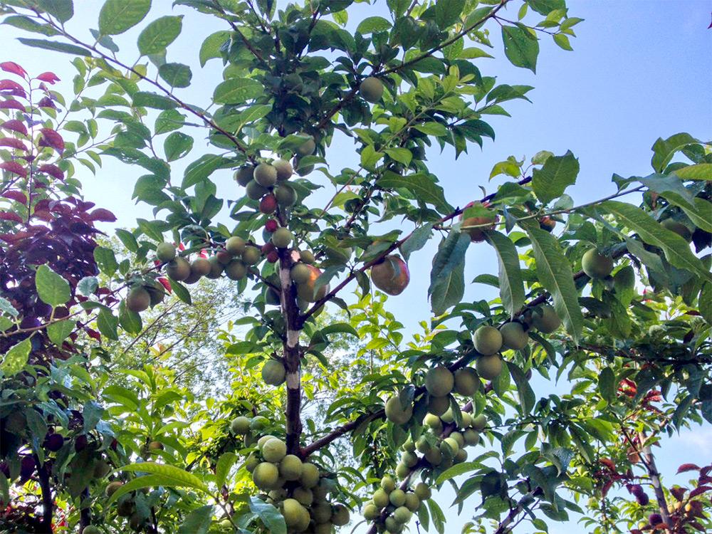 arbre-fruit-40-03