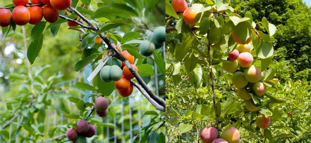 arbre-fruit-40-05