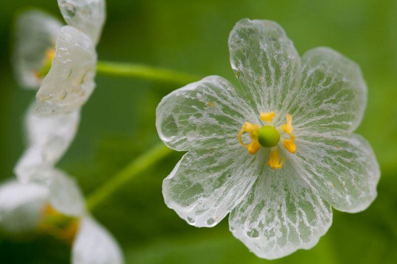 fleur-transparente-pluie-eau-blanche-01