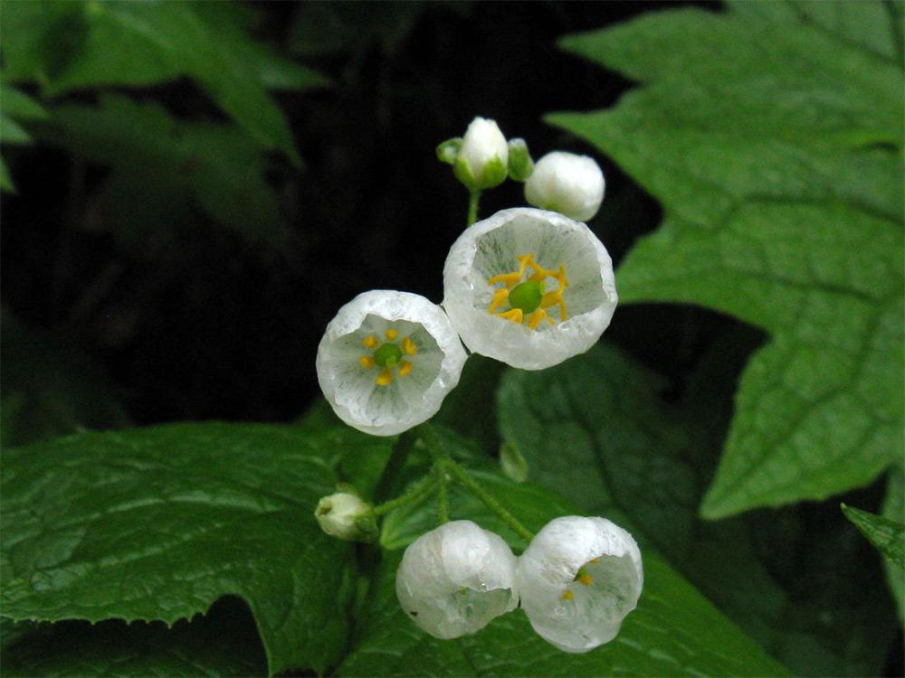 fleur-transparente-pluie-eau-blanche-05