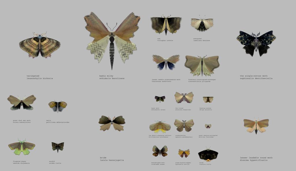 Papillon nuit generateur 02 la boite verte - Duree de vie papillon de nuit ...