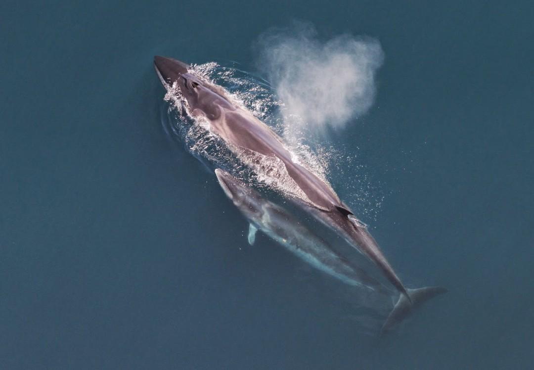 Rorqual boréal - ( Sei Whale )