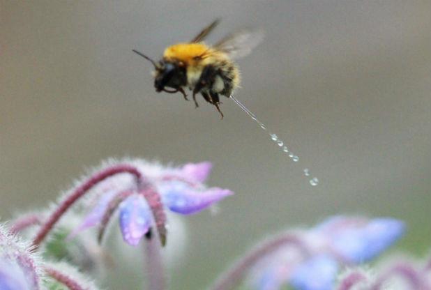abeille-pipi