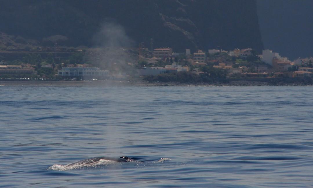 Rorqual de Bryde - ( Bryde's whale )