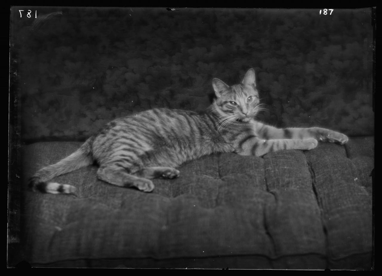 02-arnold-genthe-buzzer-chat-Buzzer-the-cat