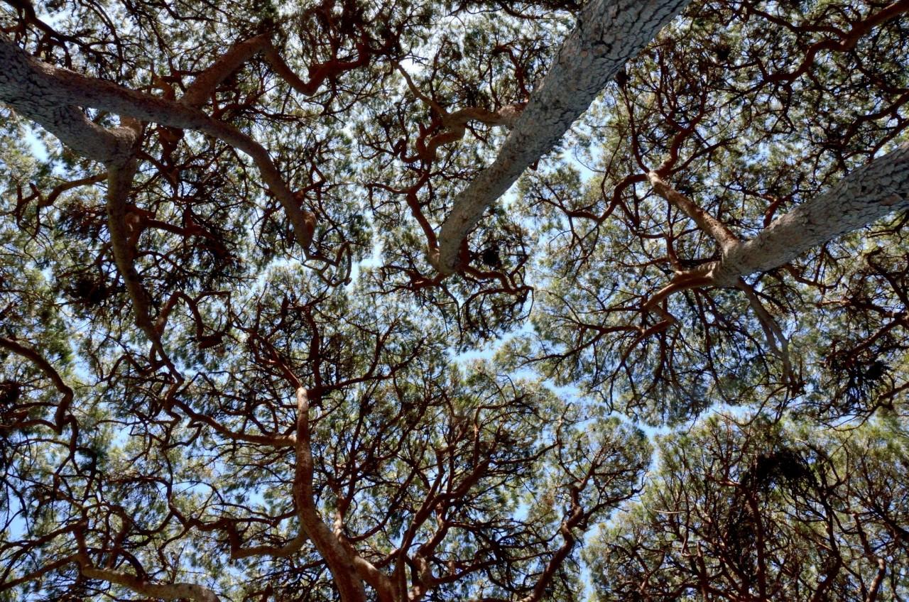 La timidité des arbres (les Pinus pinea du Jardin Botanique de la Villa Thuret)