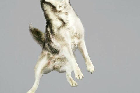 chien-saut-01