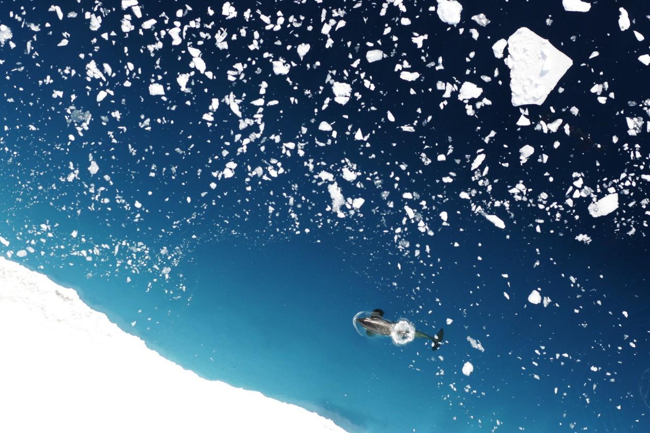 Un orque dans la mer de Ross - Donald Leroy