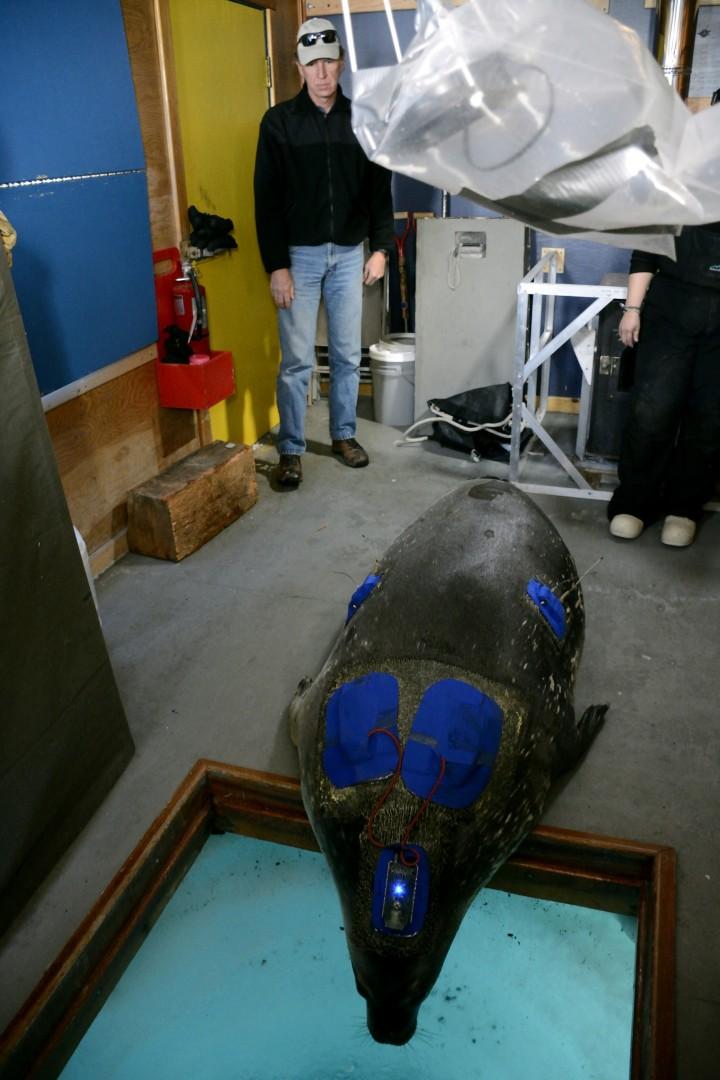 Un phoque équipé d'appareils de mesures considère la possibilité de rejoindre la mer par un trou dans le sol