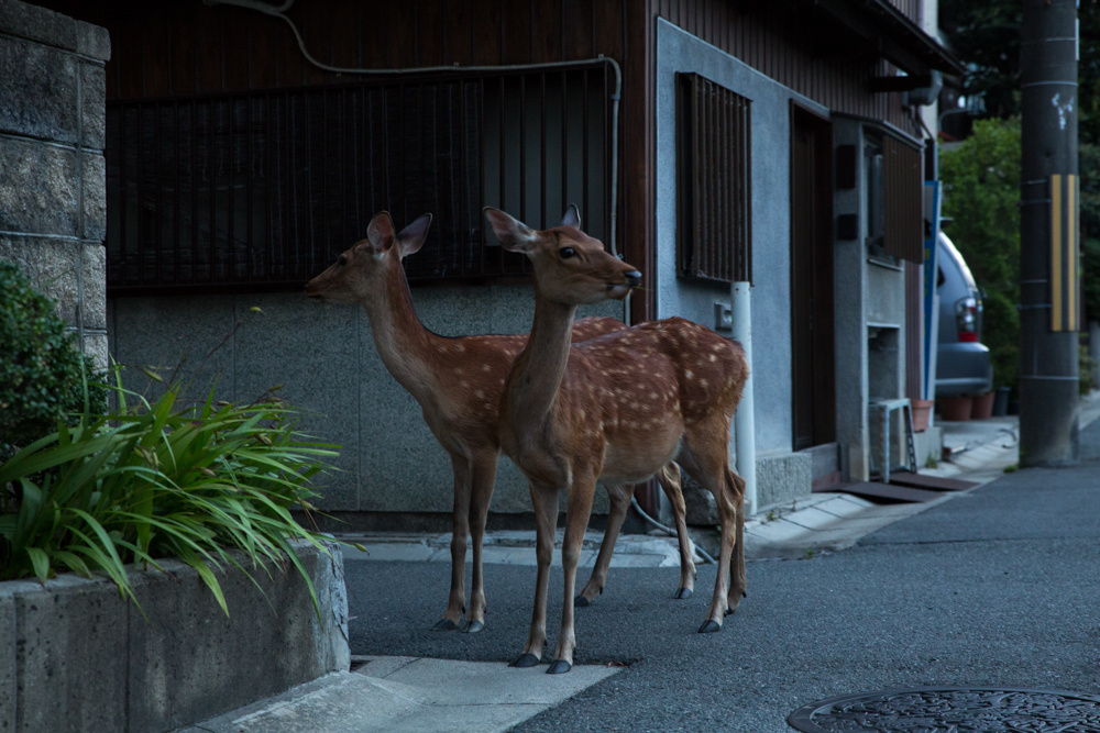 cerf-japon-sacre-02