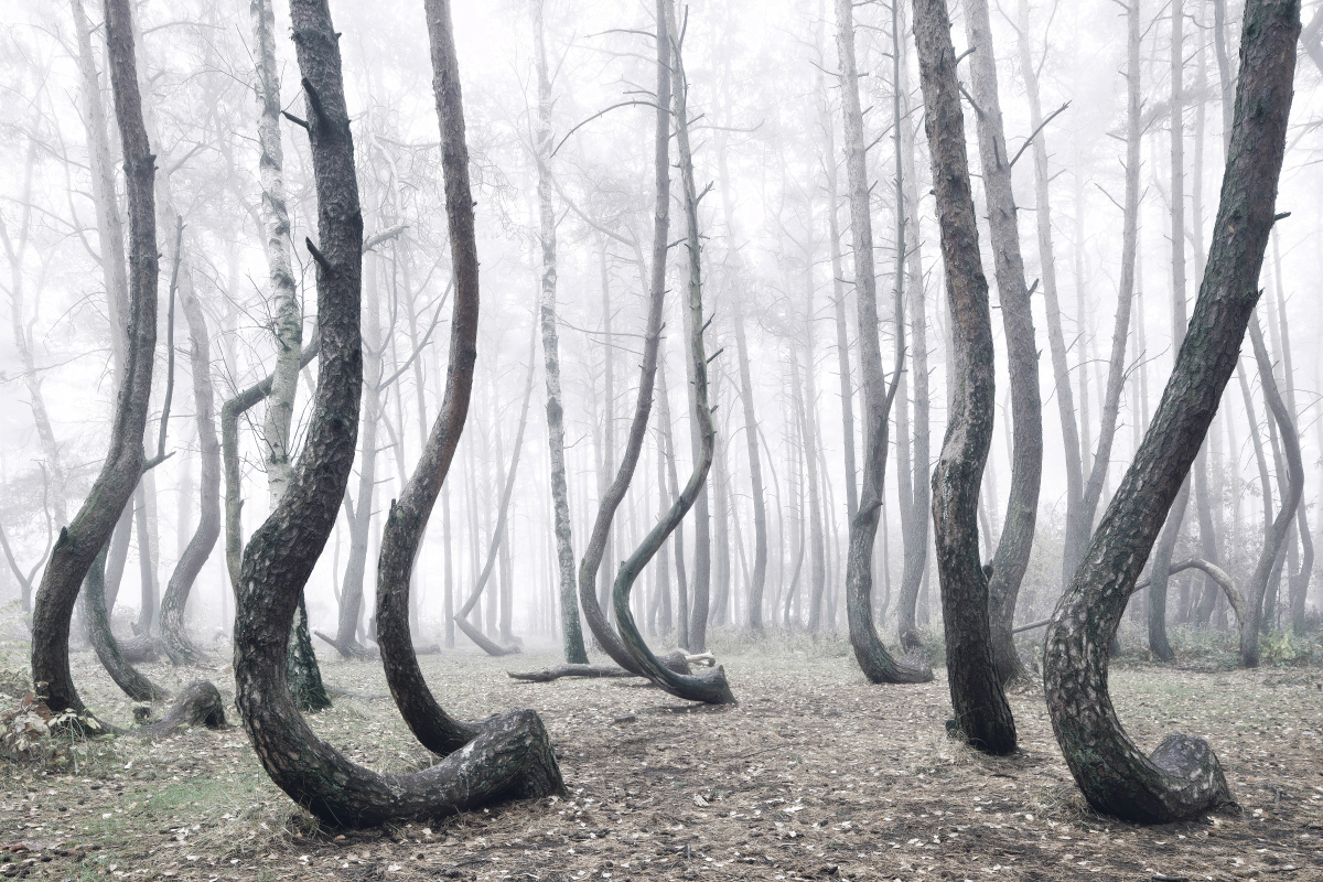 foret-arbre-tordu-pologne-01