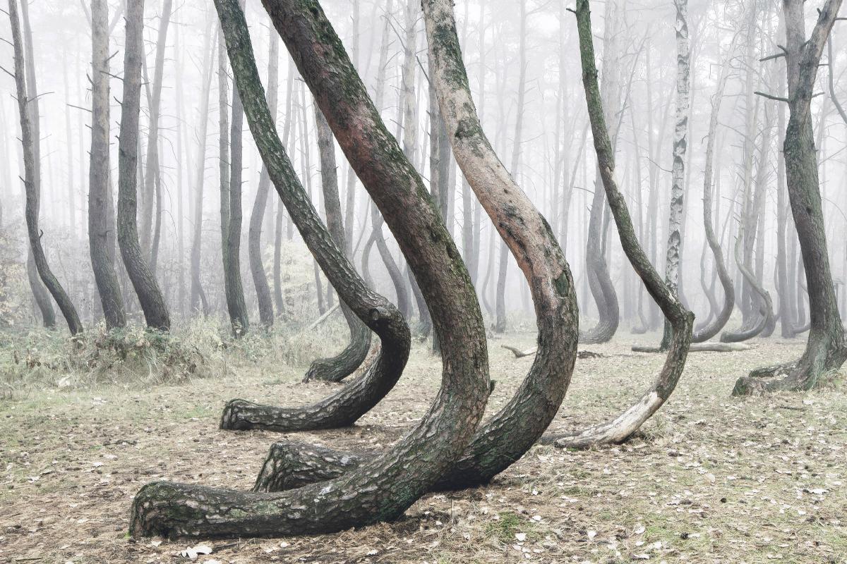 foret-arbre-tordu-pologne-02