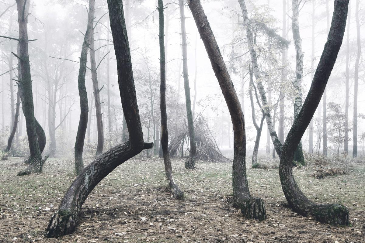 foret-arbre-tordu-pologne-03