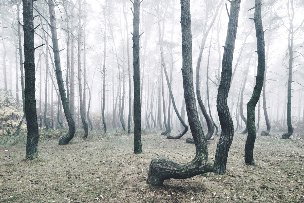 foret-arbre-tordu-pologne-04
