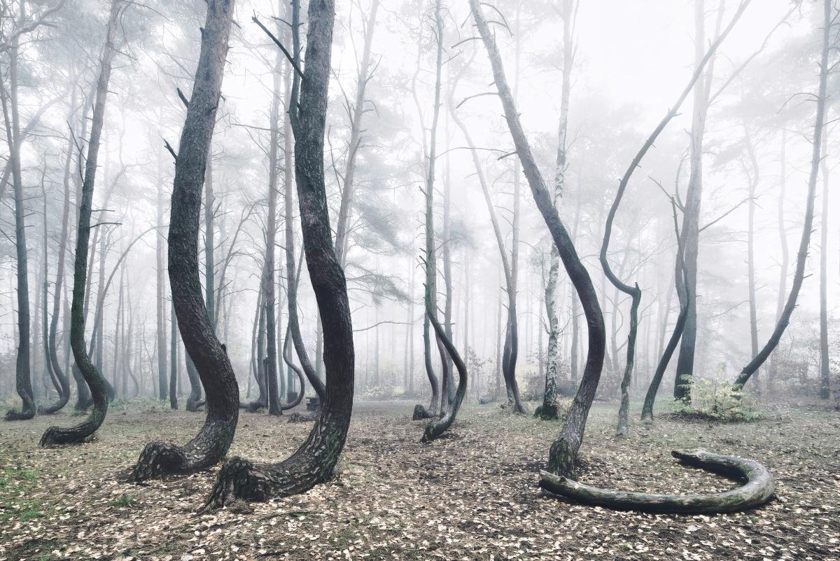 foret-arbre-tordu-pologne-06