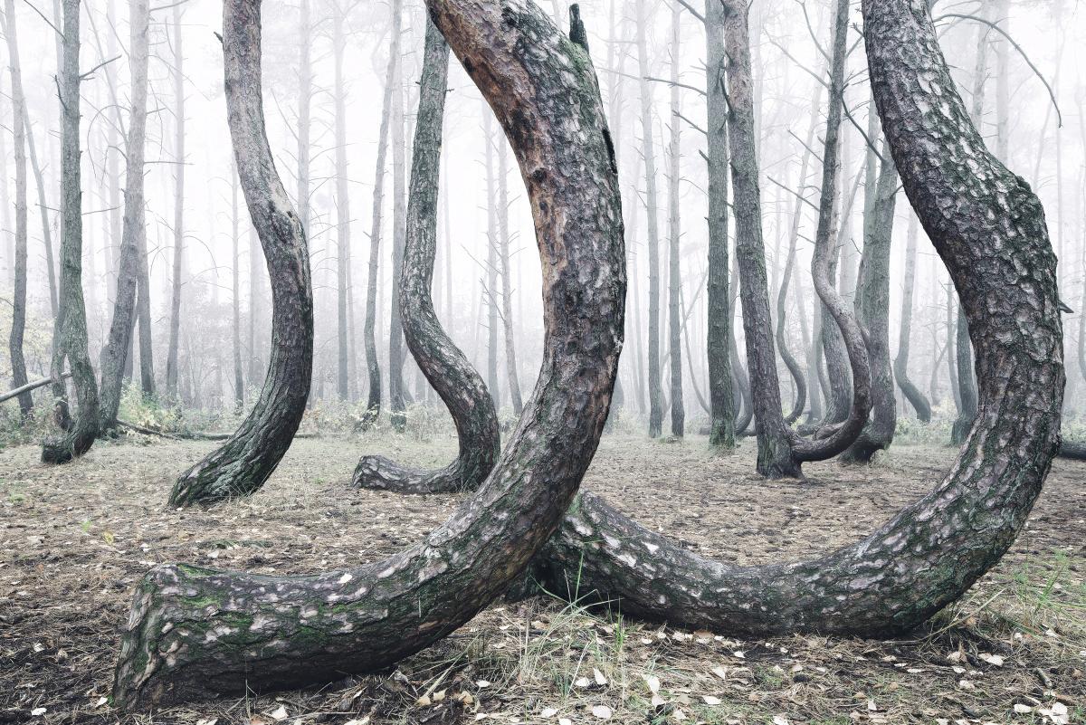 foret-arbre-tordu-pologne-07