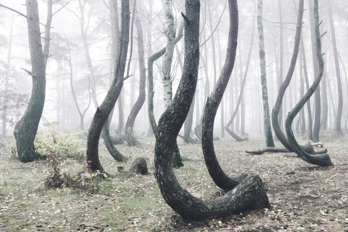 foret-arbre-tordu-pologne-08