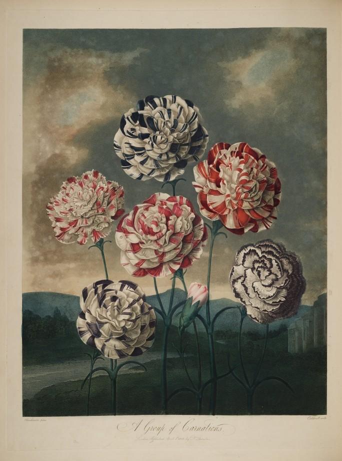 temple-fleur-illustration-Robert-Thornton-01