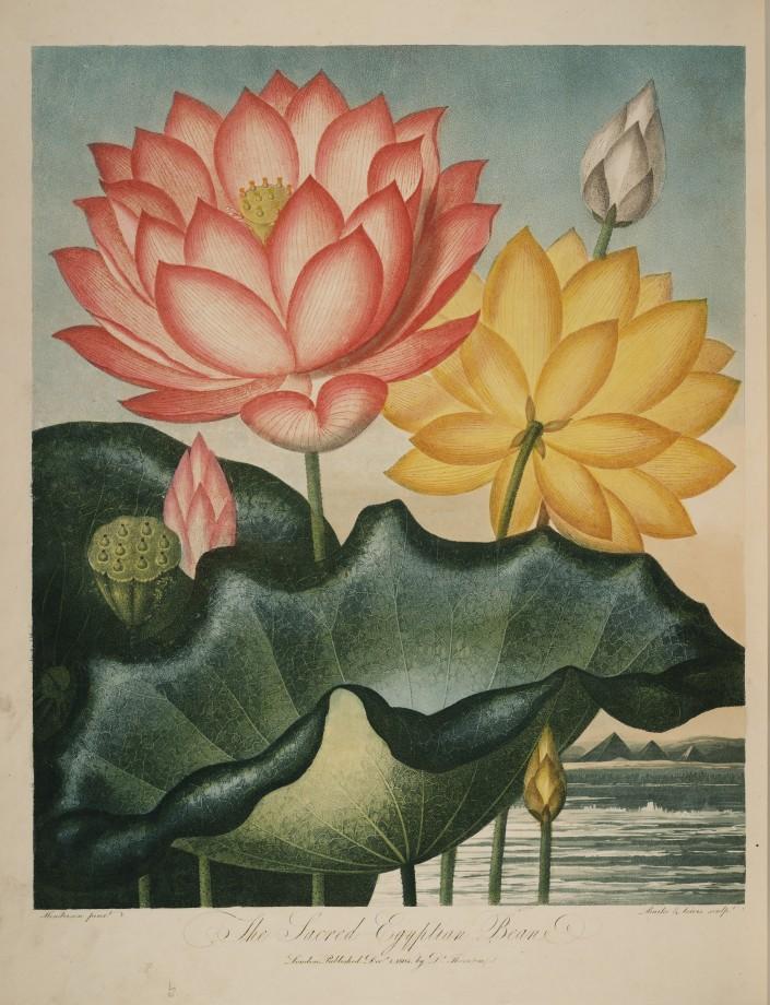 temple-fleur-illustration-Robert-Thornton-03
