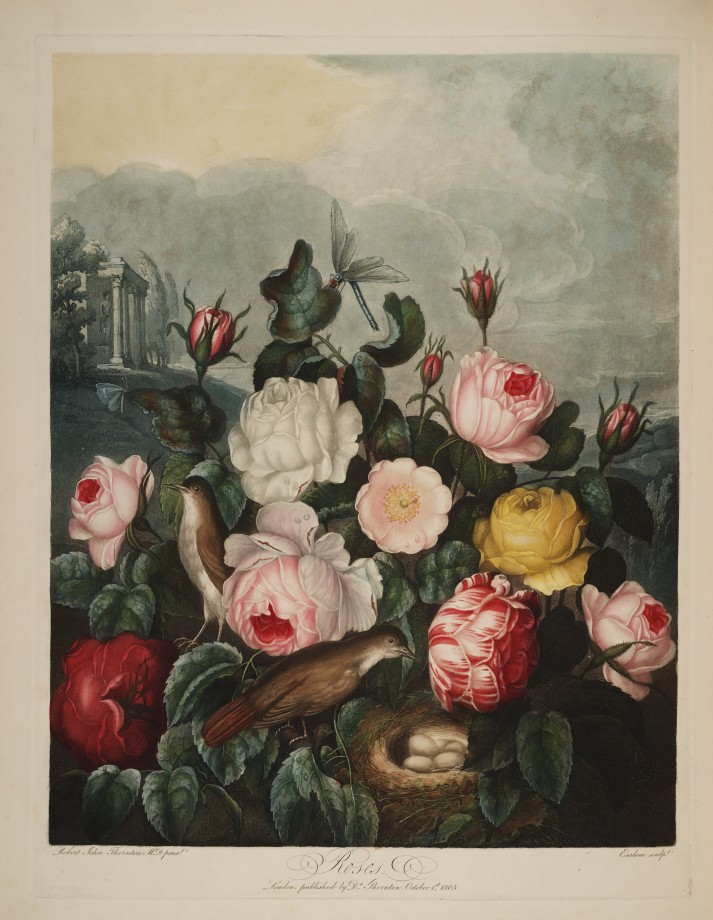temple-fleur-illustration-Robert-Thornton-06