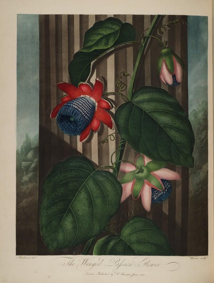 temple-fleur-illustration-Robert-Thornton-12