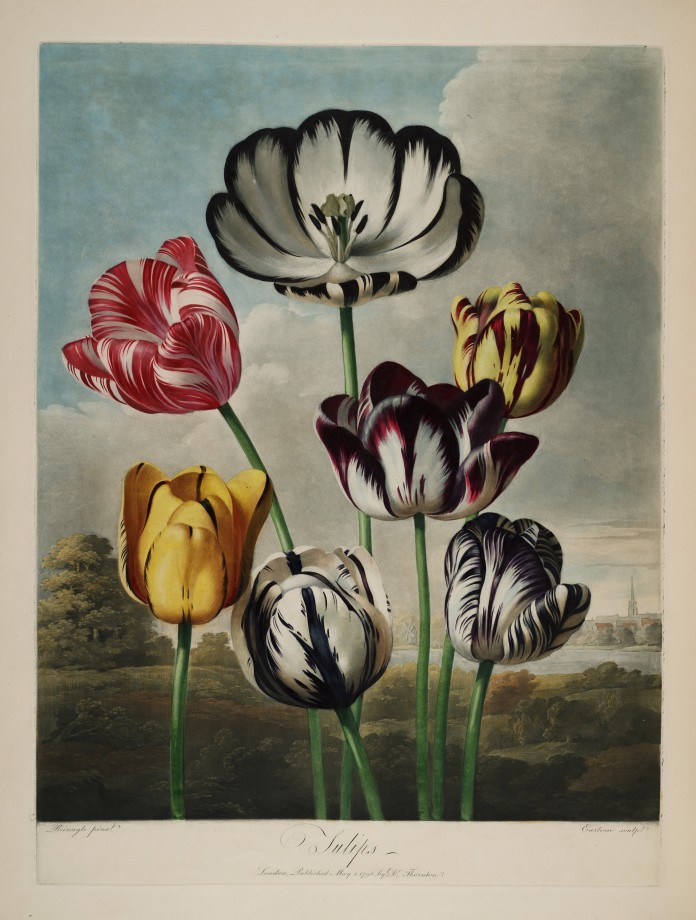 temple-fleur-illustration-Robert-Thornton-16