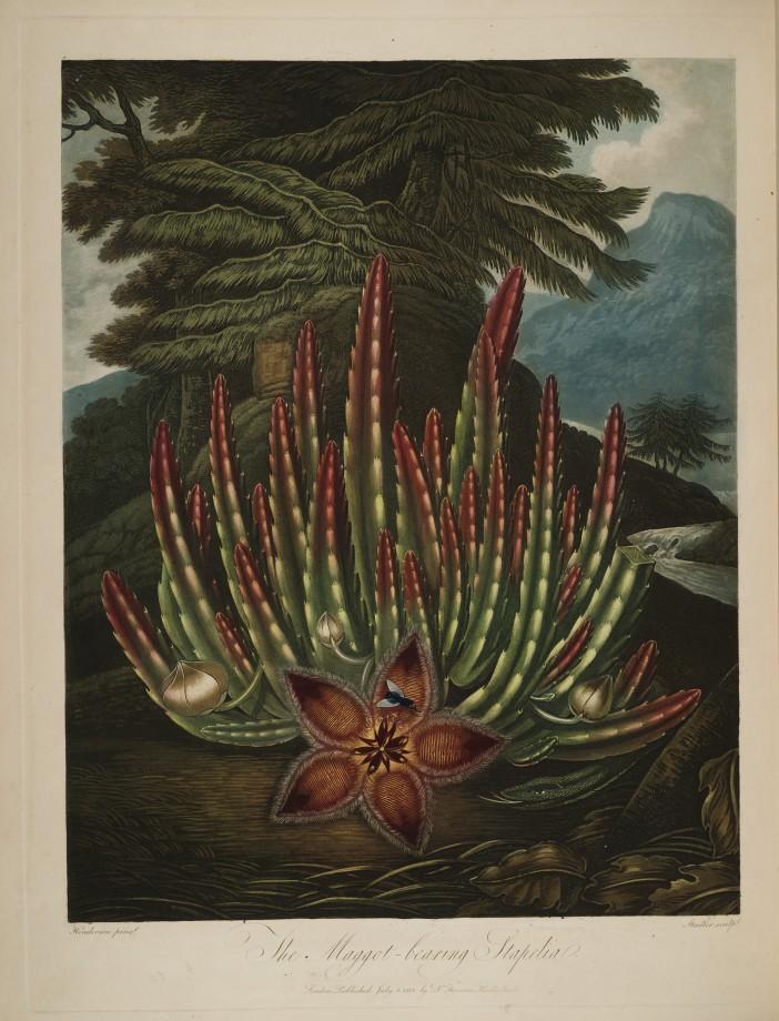 temple-fleur-illustration-Robert-Thornton-17