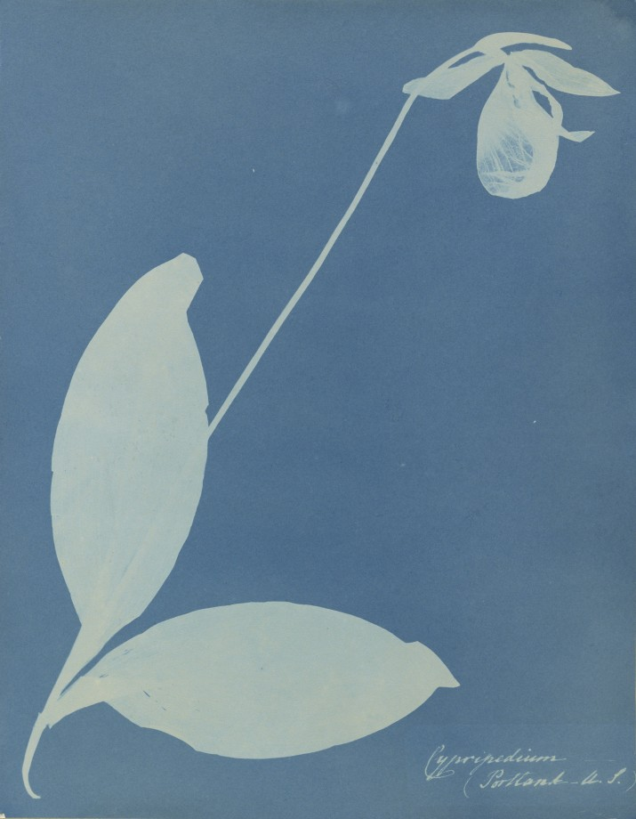 anna-atkins-cyanotype-photogramme-01