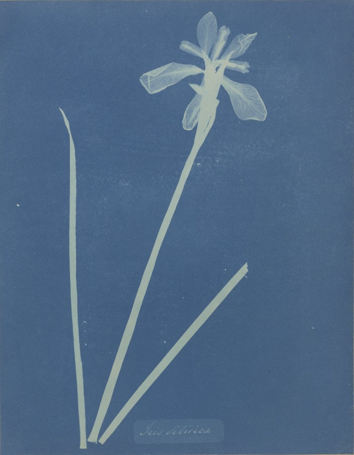 anna-atkins-cyanotype-photogramme-02