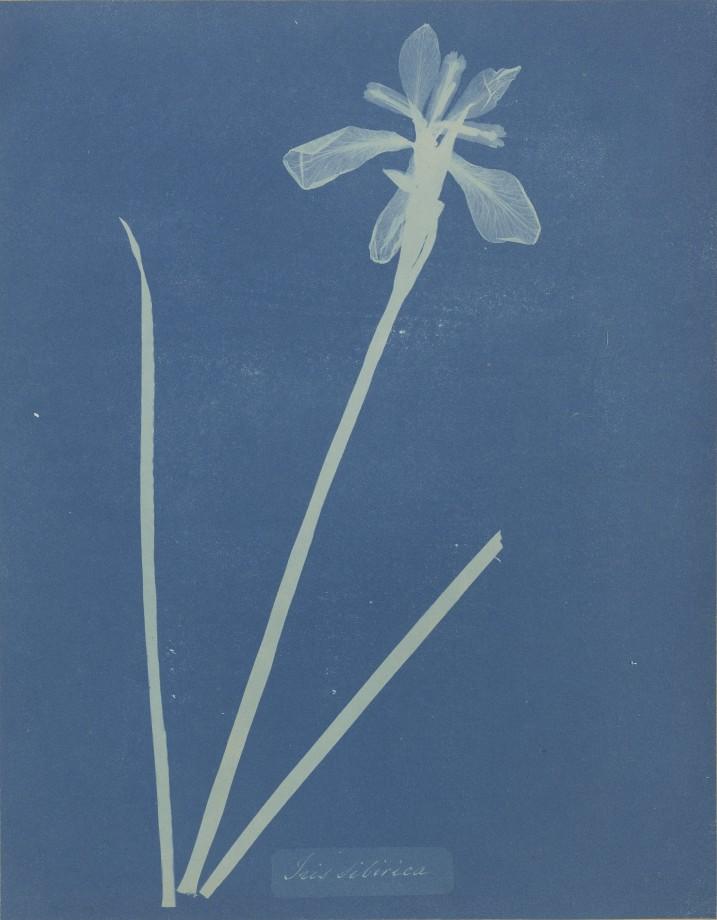 anna-atkins-cyanotype-photogramme-02