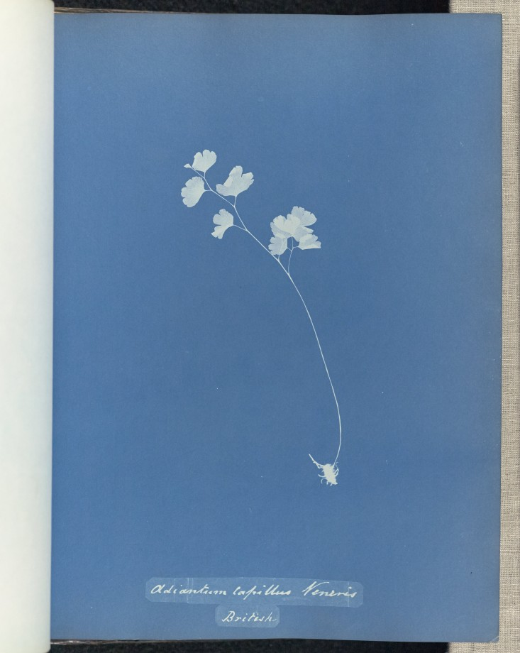 anna-atkins-cyanotype-photogramme-04