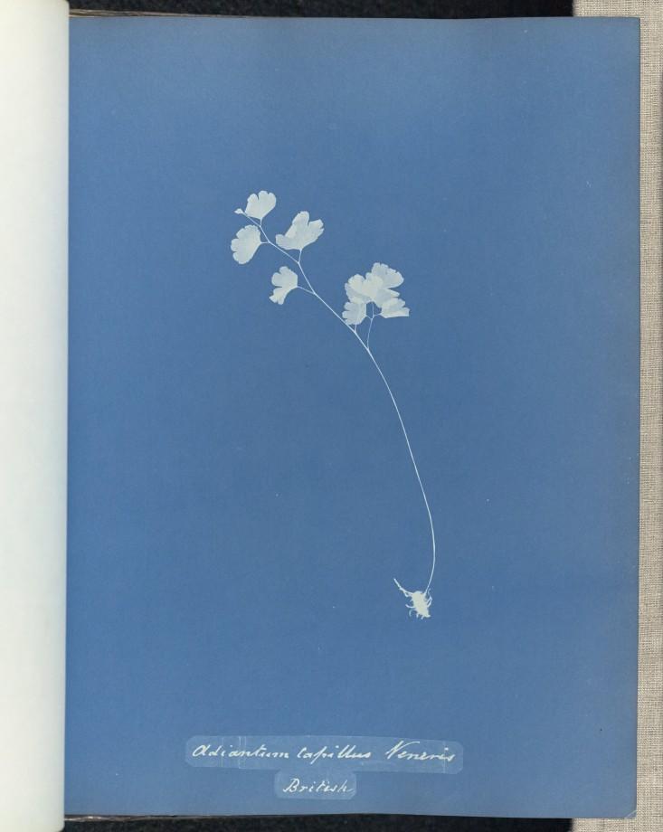 anna-atkins-cyanotype-photogramme-04
