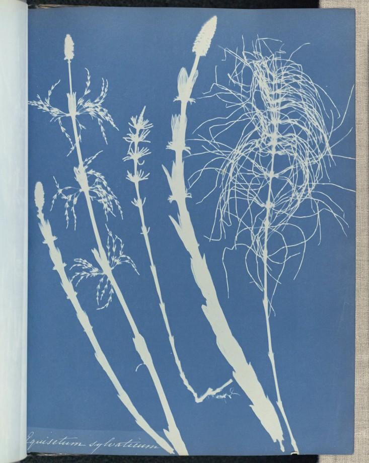 anna-atkins-cyanotype-photogramme-05