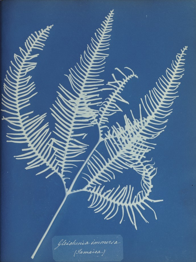 anna-atkins-cyanotype-photogramme-06