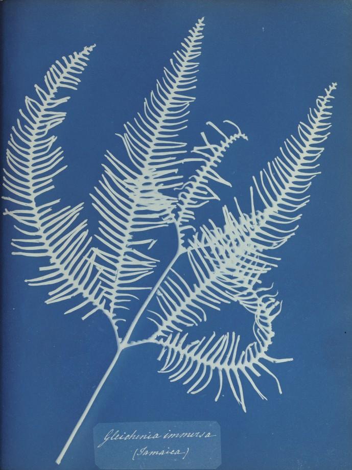 anna-atkins-cyanotype-photogramme-06