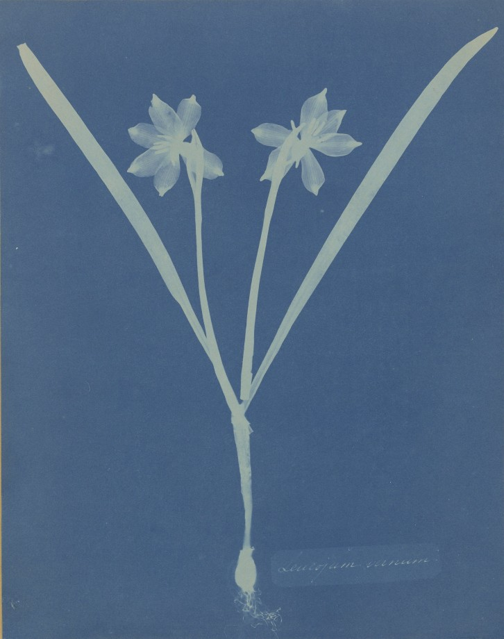 anna-atkins-cyanotype-photogramme-07