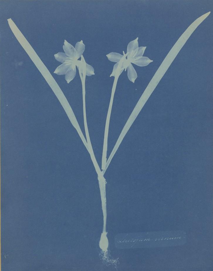 anna-atkins-cyanotype-photogramme-07