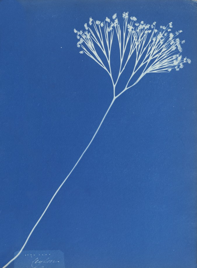 anna-atkins-cyanotype-photogramme-08
