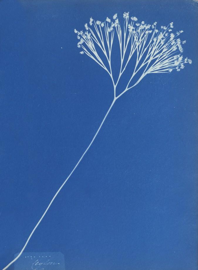 anna-atkins-cyanotype-photogramme-08