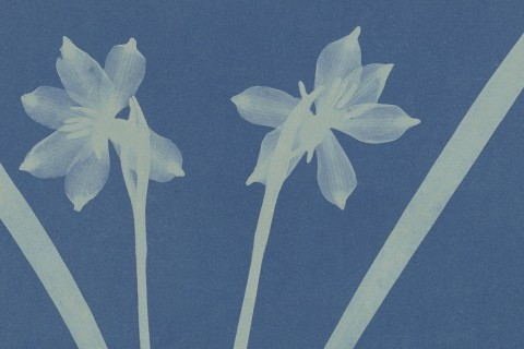 anna-atkins-cyanotype-photogramme-fea