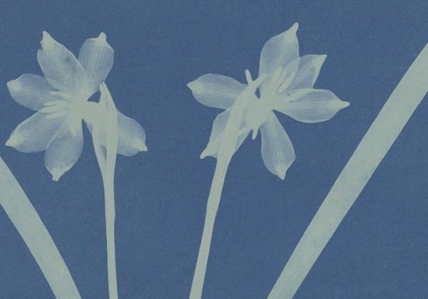 anna-atkins-cyanotype-photogramme-fea