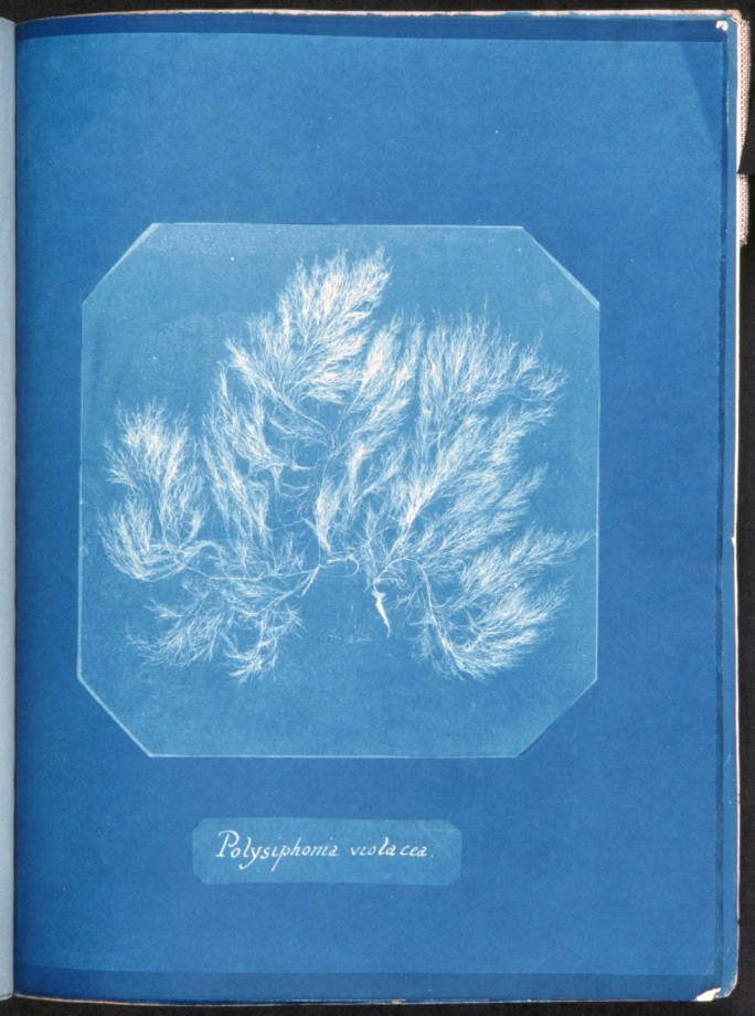 cyanotype-anna-atkins-algue-herbier-02