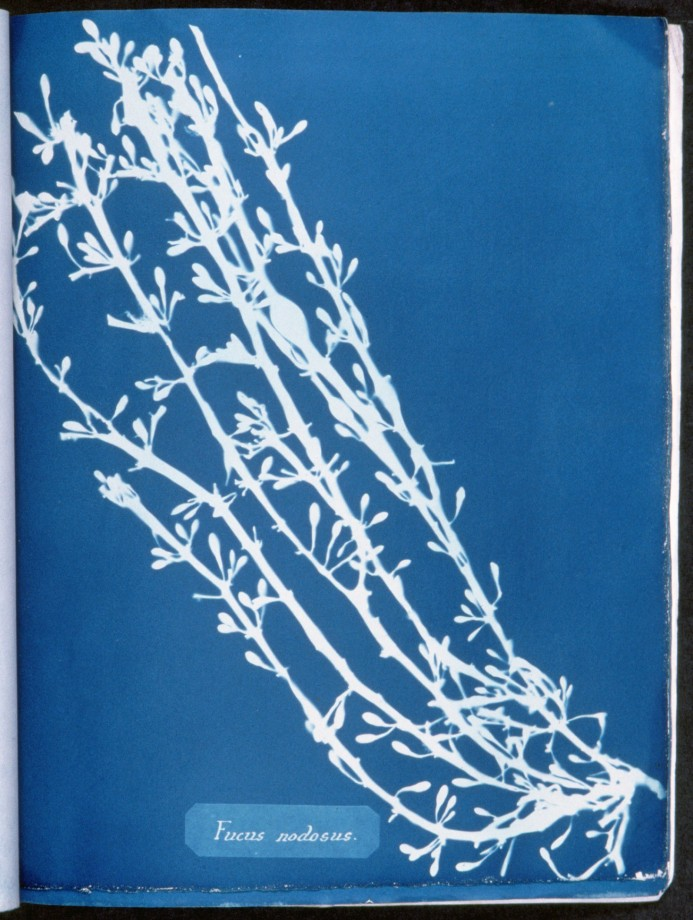 cyanotype-anna-atkins-algue-herbier-03