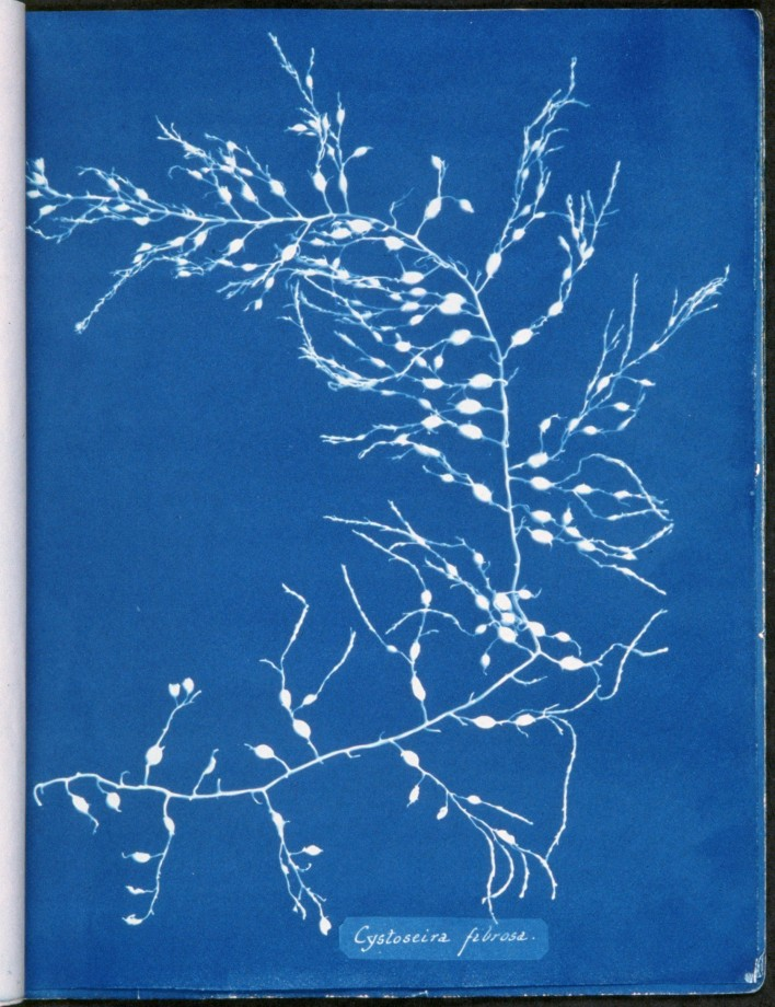 cyanotype-anna-atkins-algue-herbier-09