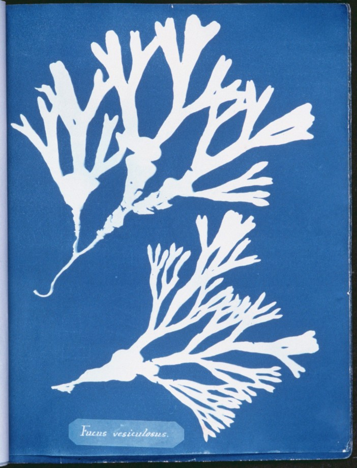 cyanotype-anna-atkins-algue-herbier-10