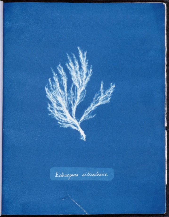 cyanotype-anna-atkins-algue-herbier-11