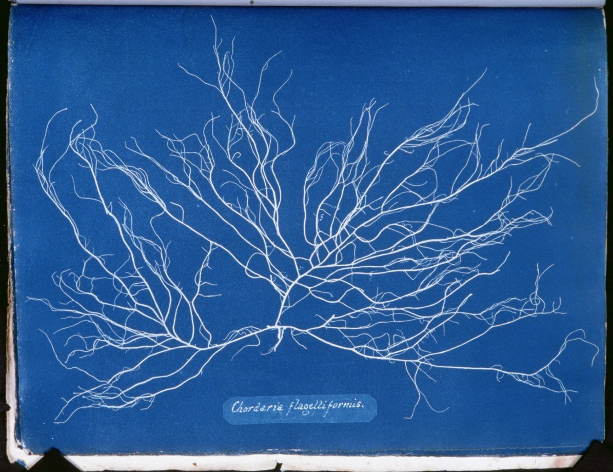 cyanotype-anna-atkins-algue-herbier-12