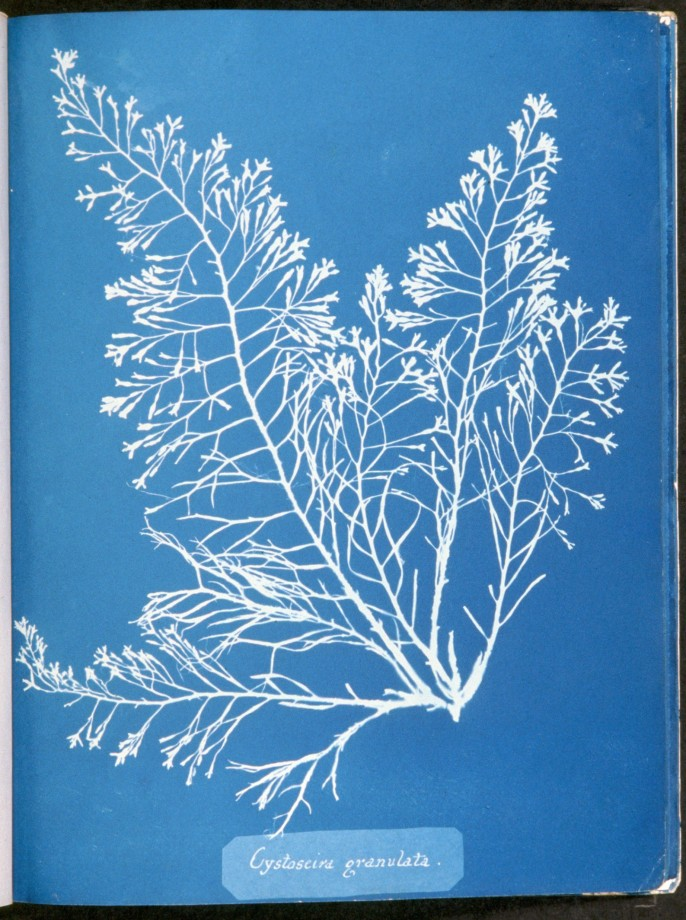 cyanotype-anna-atkins-algue-herbier-13